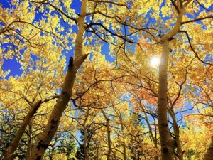golden quaking aspens